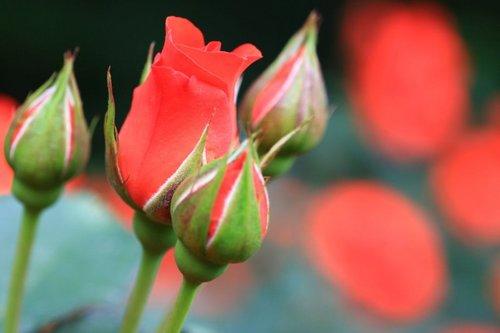 090527 roses 033.jpg
